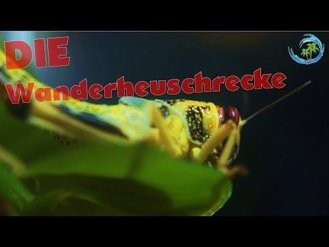 🐍Das perfekte Futter für Reptilien? Die Wüstenheuschrecke  #02  ATTVLounge [FHD]