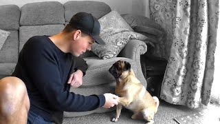 Training Your Pug Tricks For Beginners