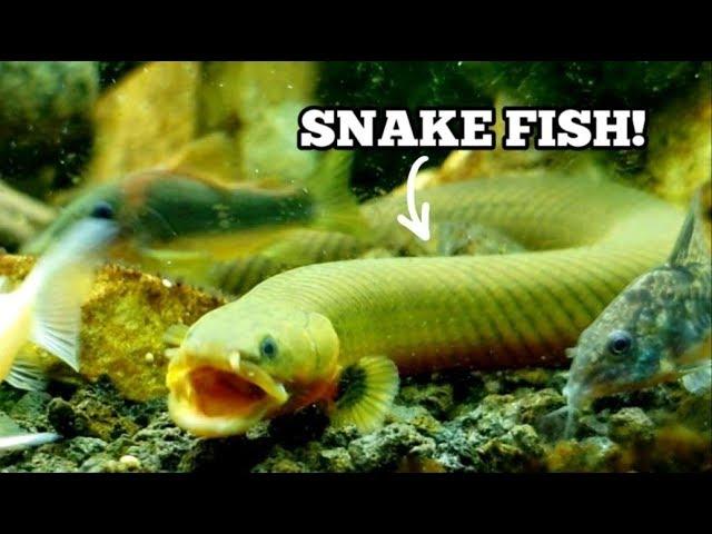 ELUSIVE ROPE FISH FEEDING CAUGHT ON CAMERA!