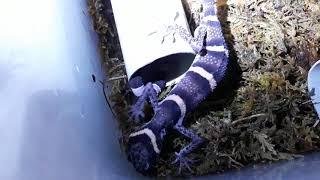 Ken nhi: Huulienensis cave gecko.