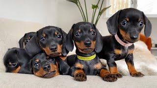 Dachshund Puppies 8 Weeks Old.