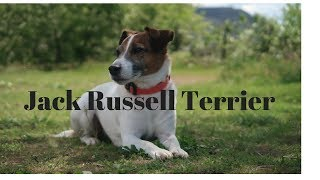 Jack Russell Terrier(WHAT YOU NEED TO KNOW)