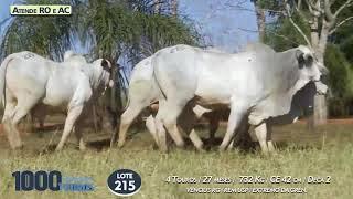 4 touros Nelore Mocho e Batoque (Atende RO e AC)
