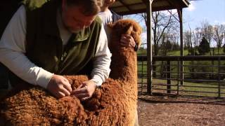 Eagle Bend Alpacas