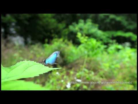 オオミドリシジミのテリトリー飛翔  Favonius orientalis