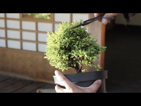 Download How to make a Bonsai tree, from a starter kit HD Video