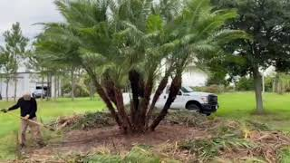 Reclanata Palm Before and After Trim