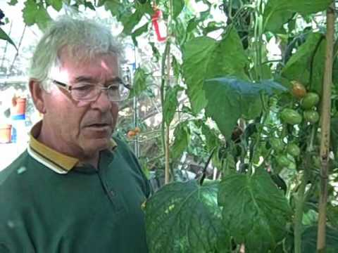 , title : 'Growing Tomatoes in Greenhouses - Gardening Tips