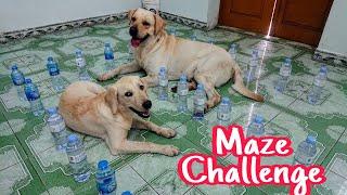 Thử thách Kim Chi Củ Cải thoát khỏi mê cung chai nhựa | Labradors Maze Challenge Fails