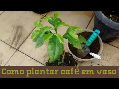 PLANTANDO MUDA DE CAFÉ NO VASO PASSO-PASSO