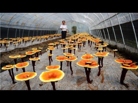 How it's Grow Reishi - Red Reishi Mushroom Farm - Reishi Mushroom Harvest and Processing