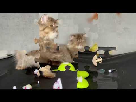 Cucciola Persiana femmina Brown Tabby  | video 1