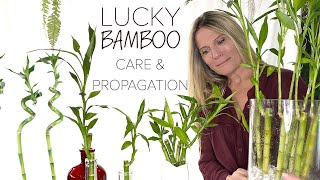 Lucky Bamboo Care And Propagation For Beginners