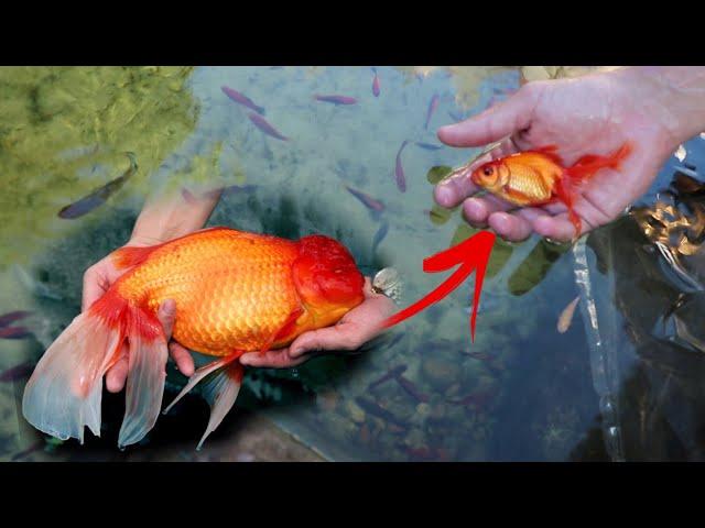 MEET Mini BINGO THE Fancy Tail GOLDFISH!!
