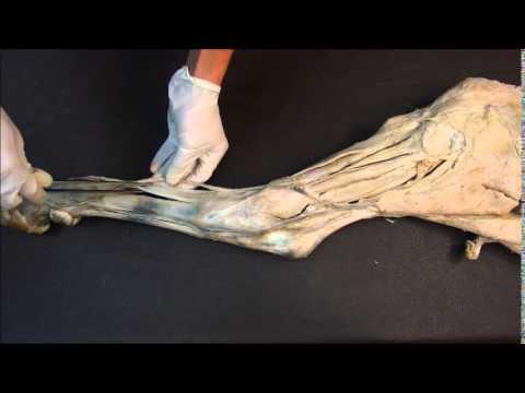 мышцы заплюсневого сустава и суставов пальцев крупного рогатого скота. Ахиллово сухожилие.