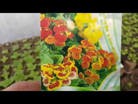 КАЛЬЦЕОЛЯРИЯ из семян выращивание и уход