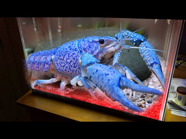 New Giant BLUE LOBSTER For My Aquarium