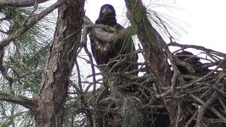 SWFL Eagles_Confidence On The Rails~Mantling~H&M Tree Hop~Fish & Fur~Visitors 02-20-19