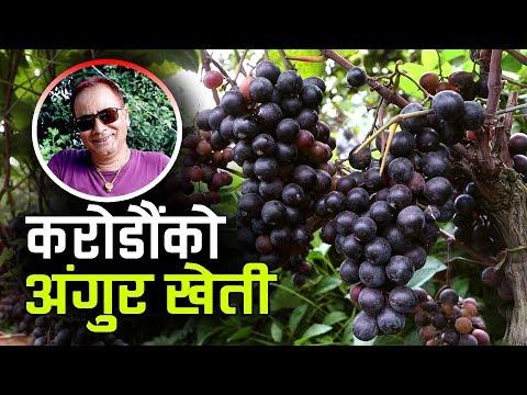 यस्तो छ नेपालकै सबैभन्दा ठूलो अंगुर फार्म , जहाँ यसरी बन्छ स्वदेशी वाइन | Grape Farming in Nepal