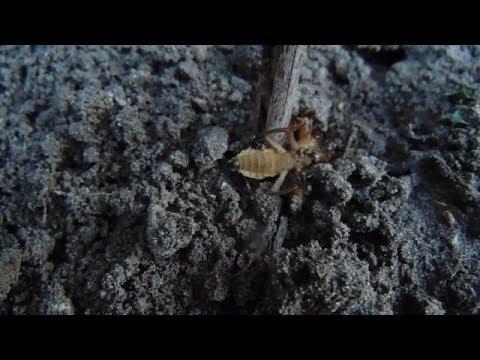 A betegség neve szarvasmarha galandféreg
