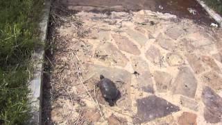 preview picture of video 'Tortuga autóctona soltada en el Pantano de El Vicario'