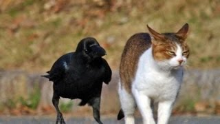 Funny Crow Annoying Cat