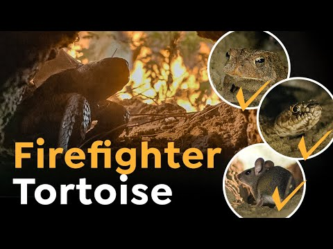This Firefighter Tortoise is a True Hero of the Wild!