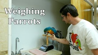 Weighing Parrots on a Scale