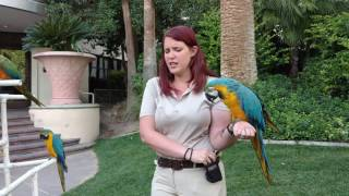 4K Video Talking Macaw Parrots Part Of Wildlife Habitat at The Flamingo Hotel In Las Vegas