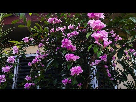 , title : 'Mansoa Alliacea l Garlic Vine l Front Yard Garden l Gorgeous Flowers l Garden Vlog #2