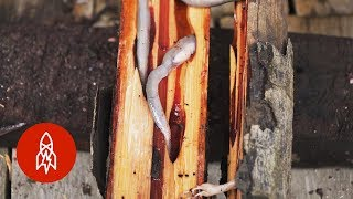 Dare to Eat the Philippines' Delectable Woodworms