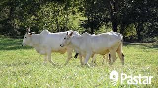 Bovino Corte Nelore Vaca 16-20@ Andrológico em dia - e-rural Imagens