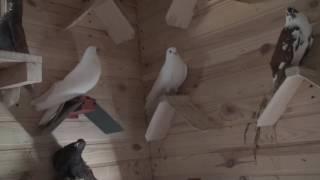 Киев.у Юры..зависит ли полет голубей от месторасположения питомника?Мисник И30.06