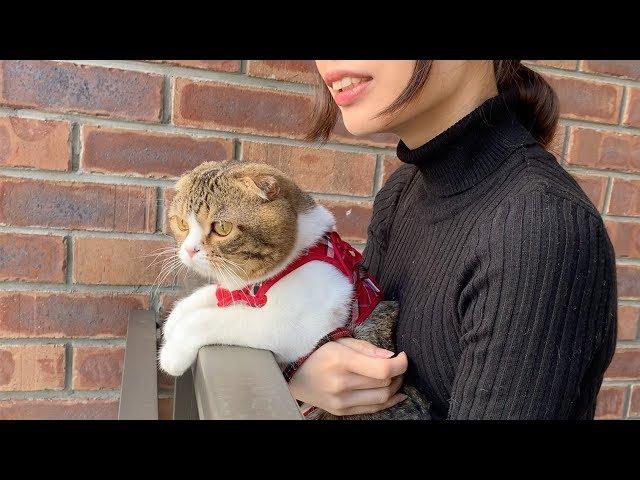 外の景色が大好きな猫【スコティッシュフォールド】 #スコティッシュフォールド #cat