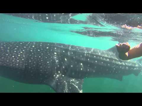 Holbox- Whale Shark Diving