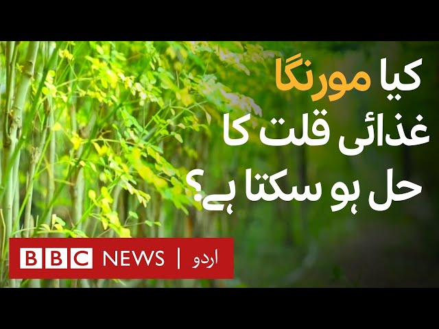 Moringa: Can it be a solution for Malnutrition? - BBC URDU
