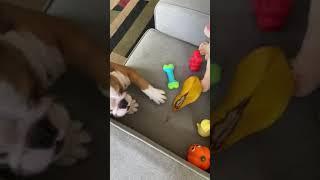 English Bulldog Puppies Videos