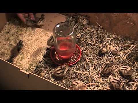 Video Ringneck Pheasant Chicks