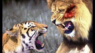 Тигр против Льва реальный бой кто Победитель