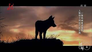 小狼格林重返狼群 母子情深不舍分离 多年后再见还能否重拾昔日情?