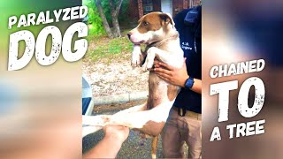 Rescue Paralyzed & Malnourished Dog Chain to A Tree in Texas