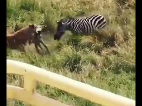 Vídeo mostra a coragem de uma zebra ao salvar sua cria das garras de uma leoa