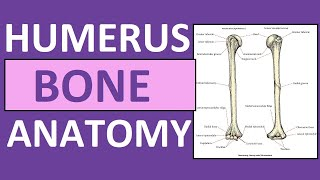 Humerus Bone Anatomy and Physiology Lecture