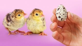 EXPERIMENT: Hatching Eggs from a Grocery Store (Part II)