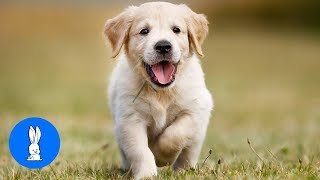 Golden Retriever Puppies - Cute Compilation
