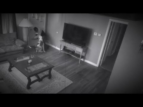 PITBULL PROTECTS OWNER FROM INTRUDER!