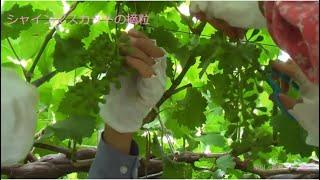 シャインマスカットの大きな房を作る  早川・百瀬ブドウ園