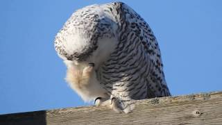SNOWY OWL SCRATCHING THAT ITCH