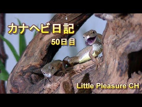 【カナヘビ日記】50日目 可愛いカナヘビちゃんたちのビバリウム水槽をメンテナンス