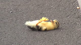 Download Youtube: Duck lose their baby - you will cry 😢
